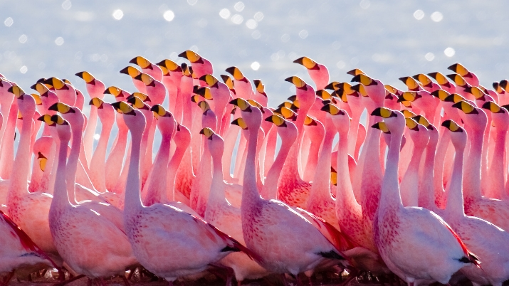 pink male flamingos
